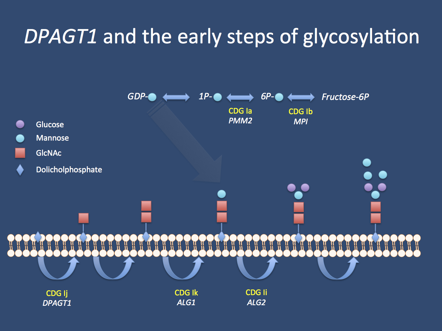 The first steps of glycosylation. Dolicholphosphate serves as an membrane-bound anchor for the construction of glycanes. Enzymes implicated in Congenital Disorders of Glycosylation Type I (CDG I) are involved in these early steps of glycane biogenesis, including DPAGT1, which results in CDG Ij if deficient.