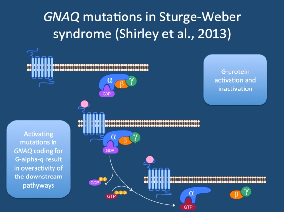 Activating mutations in GNAQ coding for an alpha subunit of a G-protein leads to Sturge-Weber syndrome and port-wine stains. GNAQ is implicated in transmitting signals from receptors at the cell membrane to the MAPK pathway, which is implicated in cellular growth. An activating mutation would therefore increase the signaling down this pathway, which may lead to the capillary malformations seen in Sturge-Weber syndrome and port-wine stains.