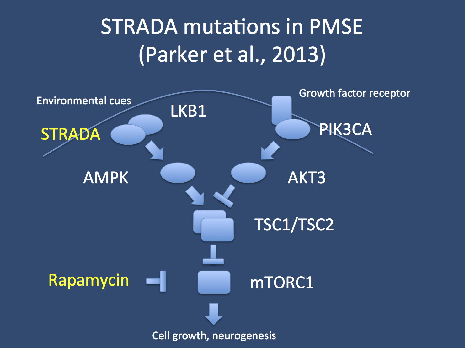 The mTOR pathway. Both environmental cues and signal mediated by growth factors impact on the mTOR pathway, which positively regulates cell growth and neurogenesis. Mutation in STRADA coding for the TE20-related kinase adaptor alpha eventually lead to a reduced activity of TSC1/TSC2, which, in turn, leads to increased mTOR activation. Mutation in STRADA cause polyhydramnios, megalencephaly and symptomatic epilepsy syndrome (PMSE). In the current paper, Parker and colleagues demonstrate that application of sirolimus (rapamycin) can lead to a drastic reduction in seizure frequency in PMSE.