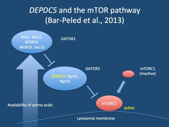 Modulation of the mTOR pathway through the GATOR1 and GATOR2 complex. Both complexes mediate the negative feedback of amino acid starvation to the mTOR complex 1. If DEPDC5 function is impaired, the cell does not know when to stop grow in response to amino acid starvation.
