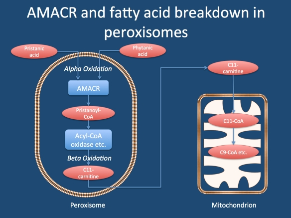 Breakdown of fatty acids in peroxisomes. Pristanic acid and phytanic acid are both methylated branched fatty acids found in various dietary sources. They are metabolized in peroxisomes and alpha-methyl-CoA-racemase (AMACR) is one of the enzymes required for this. Peroxisomes cannot breakdown these fatty acids completely, but require the mitochrondria to continue once C11-CoA is produced. AMACR deficiency leads to an accumulation of pristanic acid that can be measured in blood.