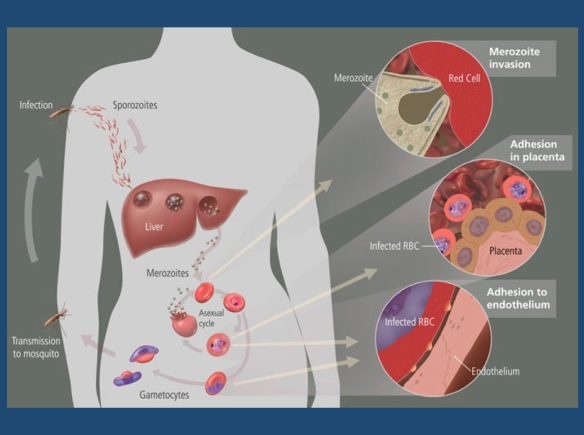 The life cycle of the malaria parasite. A mosquito causes infection by taking a blood meal. First, sporozoites enter the bloodstream, and migrate to the liver. They infect liver cells, where they multiply into merozoites, rupture the liver cells, and return to the bloodstream. Then, the merozoites infect red blood cells, where they develop into ring forms, trophozoites and schizonts that in turn produce further merozoites. Sexual forms are also produced, which, if taken up by a mosquito, will infect the insect and continue the life cycle. Malaria-associated seizures usually occur when the red blood cells rupture. Image and image caption are from Wikipedia and within the public domain.