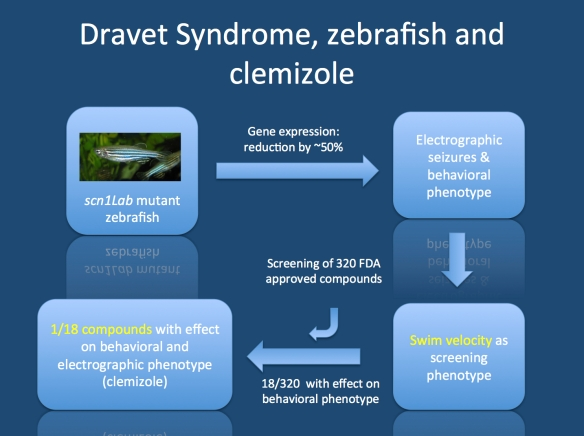tudy by Baraban and collaborators. Zebrafish larvae deficient in scn1Lab were found to have a peculiar behavioral swimming phenotype that could be assayed at medium throughput. Mutant animals showed an increased swim velocity, which represents behavioral seizures. This behavioral assay was used to screen 320 compounds. Only one compound (clemizole) was found to reduce the swim velocity and abolish electrographic seizures.