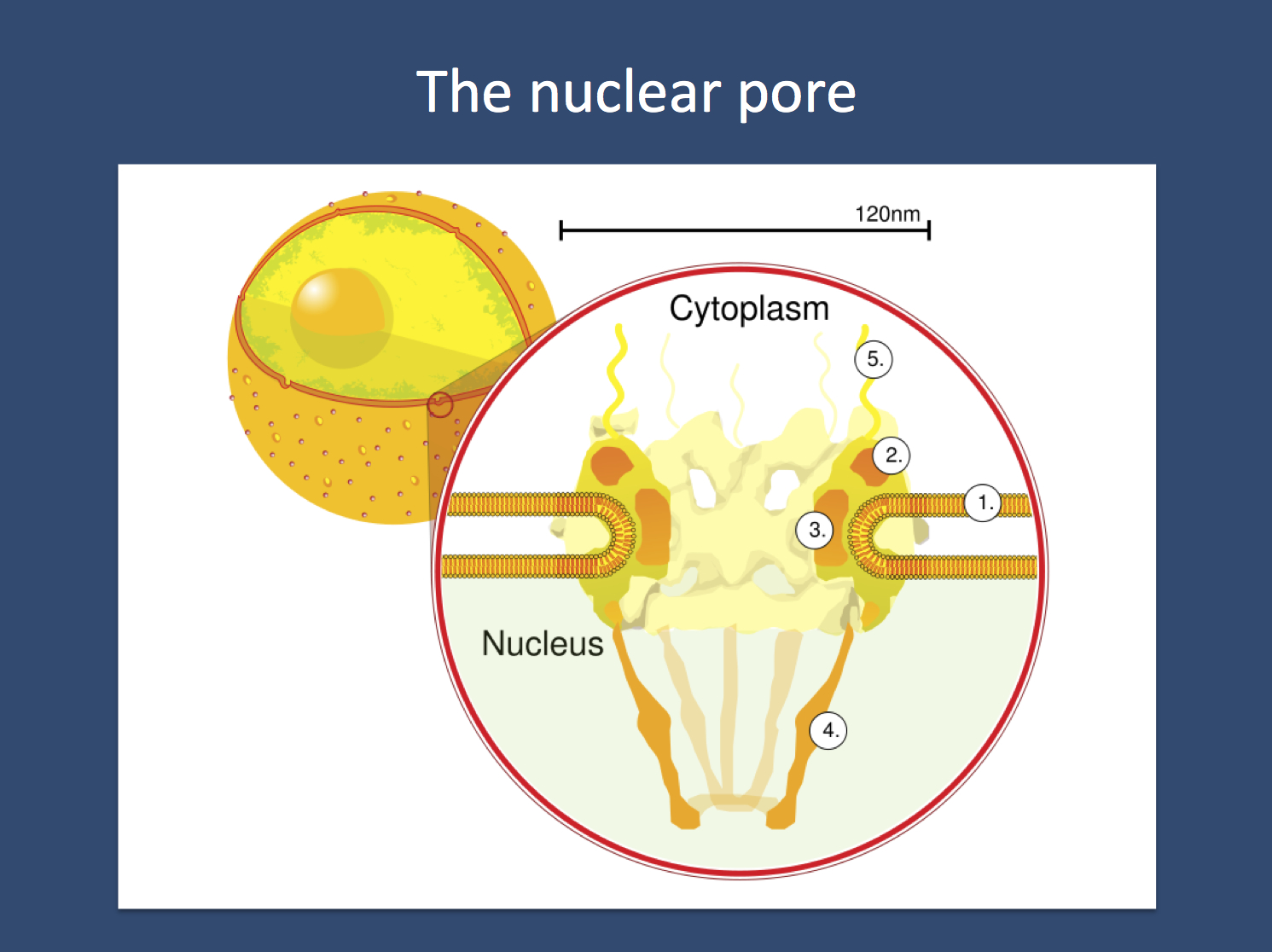 The nuclear pore. Nuclear pore. Side view. 1. Nuclear envelope. 2. Outer ring. 3. Spokes. 4. Basket. 5. Filaments. Image is by Wikipedia reproduced under the Creative Commons Licence (http://en.wikipedia.org/wiki/File:NuclearPore_crop.svg.png)