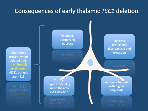 Main findings in the study of Normand and collaborators. Early, but not late embryonic deletion of TSC1 leads to abnormal neuronal morphology and altered electrophysiological properties.