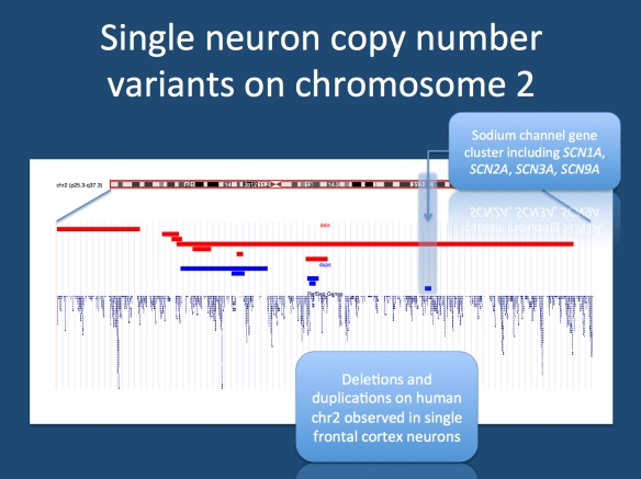 The dispensable chromosome 2. A plot from the UCSC genome browser on all deletions (red) and duplications (dup) that are found on chromosome 2. The sodium channel gene cluster is highlighted. It is affected by at least two independent events in two neurons.