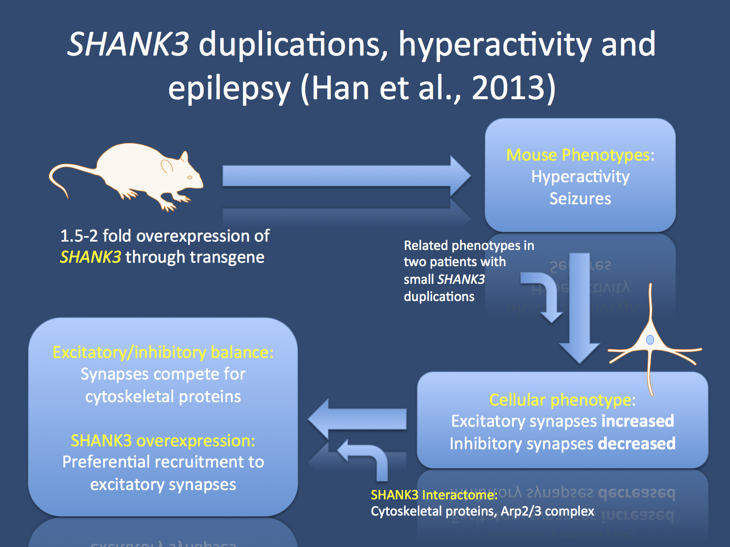 Study by Han and colleagues. Overexpression of SHANK3 resulted in an unanticipated phenotype consisting of seizures and hyperactivity. On a cellular level, the balance between excitatory and inhibitory synapses was shifted towards excitation, suggesting that SHANK3 levels serve as a molecular regulator for the level of excitation versus inhibition.