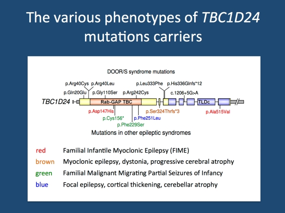 The various recessive and compound heterozygous epilepsy phenotypes due to mutations in TBC1D24.