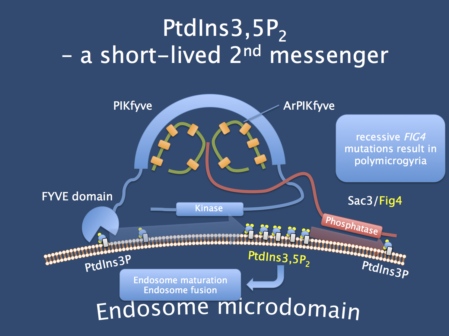 Hypothesized structure of the PIKfyve-ArPIKfyve-Sac3 core complex that generates and cleaves PtdIns3,5P2. This phosphoinositide is a rare and very short lived second messenger whose effector proteins are still largely unknown. Disrupting the physiology of PtdIns3,5P2 metabolism severe disrupts endosome trafficking. Mutations in FIG4, the phosphatase within this complex, result in Yunis-Varon syndrome, a skeletal malformation syndrome with severe neurological impairment, and in Charcot-Marie-Tooth disease type 4J. In their recent publication, Baulac and collaborators identify recessive mutations in FIG4 in a Moroccan family with polymicrogyria and epilepsy. (Figure adapted from http://www.biochemj.org/csb/002/csb002.pdf)