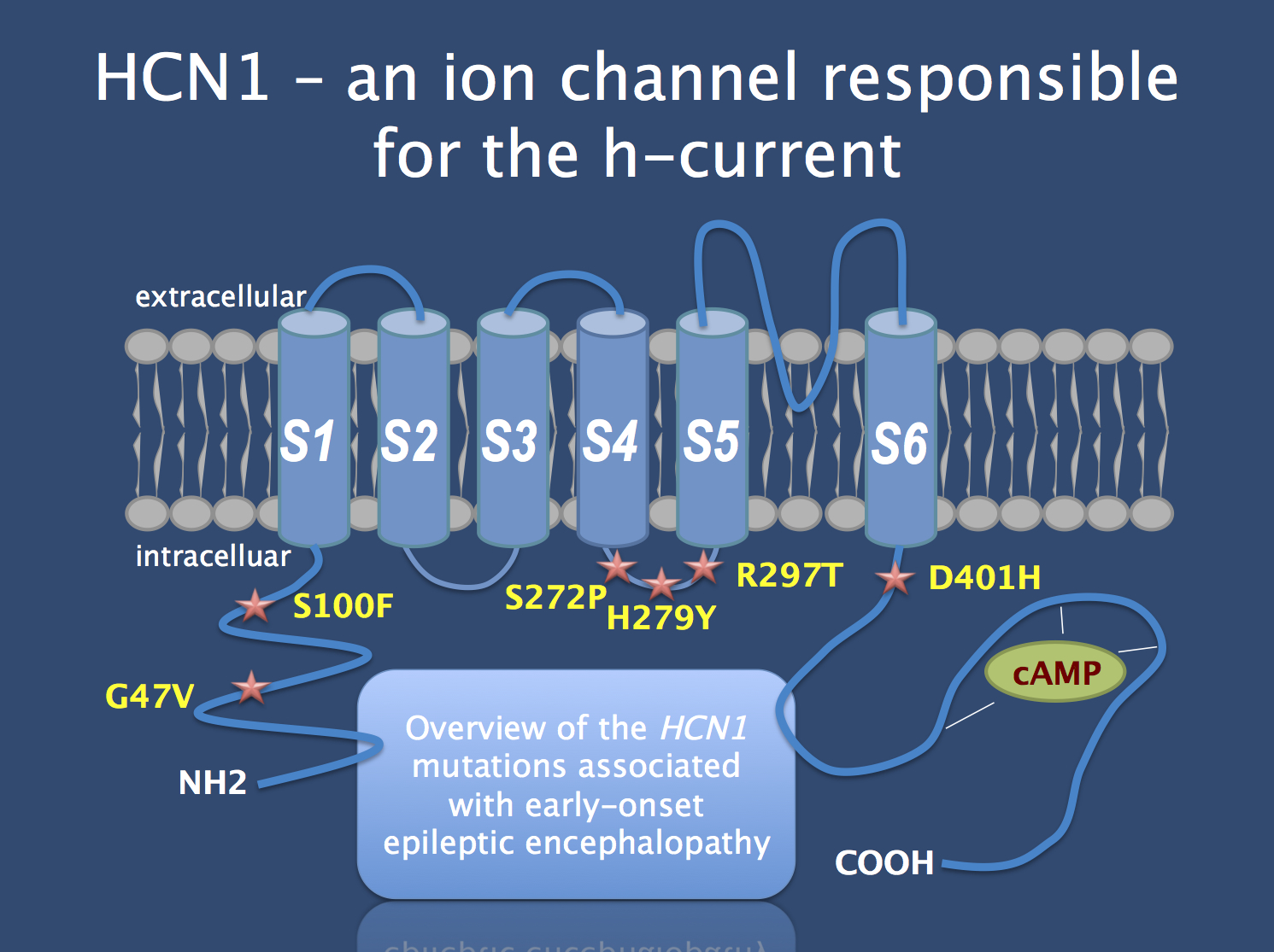 Schematic of the HCN1 channel with the protein alterations caused by the mutations identified in patients with Dravet-like epilepsy. In 5/6 patients, the variants were confirmed to be de novo. When studied functionally, some mutations lead to a gain-of-function while other mutations results in decreased channel function. The phenotype of patients with HCN1 mutations resembles Dravet Syndrome with an unusual progression into atypical absences and autistic features (non-copyrighted preliminary version of figure provided by author)